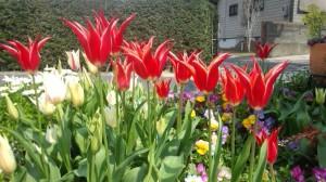 1304南東花壇チューリップ2